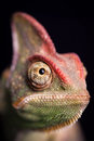 Closeup of chameleon on the black Royalty Free Stock Image