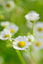 Closeup of  chamomile flowers and blur background Royalty Free Stock Photo