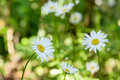 Closeup of chamomile flowers Royalty Free Stock Photo
