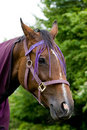 Closeup of Chestnut Horses Head With Purple Halter Royalty Free Stock Photography