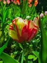 Closeup of a closed pastel rainbow-colored parrot tulip.
