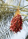 Closeup of a cluster of kimri khalal dates are fruits that have been staple food the middle east for thousands years Stock Photos