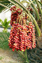 Closeup of the cluster of red dates are fruits that have been a staple food middle east for thousands years Royalty Free Stock Image