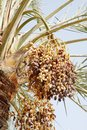 Closeup of cluster of ripen dates are fruits that have been a staple food the middle east for thousands years Stock Photos