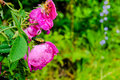 Closeup of cockchafer sitting on a pink flower rose with raindro Royalty Free Stock Photo