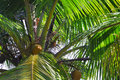 Closeup of Coconut Palm Fronds and Nuts, Fiji. Stock Images