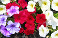Closeup on colored flower beds red pink and white petunia bed close up for brightly multicolored landscape backgrounds Royalty Free Stock Images