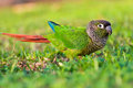 Closeup of a colorful conure on grass Royalty Free Stock Photos