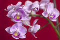 Closeup on colorful orchid pink isolated over a red background Royalty Free Stock Photography
