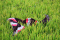 Closeup of colorful scurf farmer on paddy field Stock Image