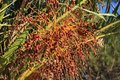 Closeup of colourful dates clusters Royalty Free Stock Photo