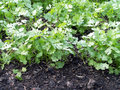 close-up coriander growing on fertile ground in vegetable garden, selective focus Royalty Free Stock Photo