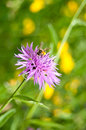 Closeup of corn-flower with bee Royalty Free Stock Photo