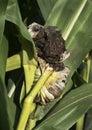 Closeup corn head smut fungus disease on ears of rotting corn in farm field Royalty Free Stock Photo
