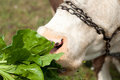Closeup of a cow s head the cow is eating some beet leaves close up Stock Photos