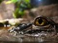 Closeup of a crocodile Royalty Free Stock Photo