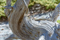 Closeup of the curved crooked distorted old tree in a national park, USA