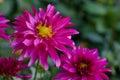 Closeup dahlia flower in garden Royalty Free Stock Photo