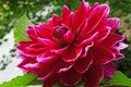 Closeup Of A Dahlias Flower