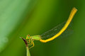 Closeup of a damsel fly flapping tail its Stock Image