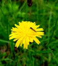 Little fly sitting on yellow dandelion flower. Details of beautiful blossom with insect. Royalty Free Stock Photo