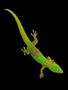 Closeup on a day gecko madagascar is diurnal subspecies of geckos it lives the eastern coast of madagascar Stock Photo