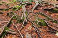 closeup detailed view of various exposed tree roots, Roots have two main roles anchoring trees in the ground and collecting miner Royalty Free Stock Photo