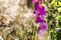Closeup of digitalis purpurea or foxglove on a summers day with light grass sweden Stock Photo