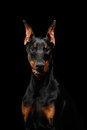 Closeup Doberman Pinscher Dog Looking in Camera on isolated Black Royalty Free Stock Photo