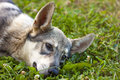 Closeup of a dog laying in grass