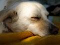 Closeup of dog sleeping.
