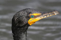 Closeup of Double-crested Cormorant Royalty Free Stock Image