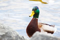 Closeup of a drake mallard standing at the waters edge Stock Images