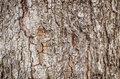 Closeup of dry rough bark of old tree as background backdrop or nature texture Stock Images