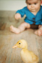 Closeup of duck with boy