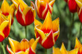 Closeup of Dutch yellow -Red Tulips of Sort SYNAEDA KING Royalty Free Stock Photo