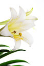 Closeup of easter lily lilium longiflorum against a white background Royalty Free Stock Photography