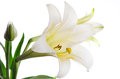Closeup of easter lily lilium longiflorum against a white background horizontal with copy space Royalty Free Stock Photos