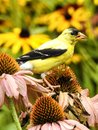 Closeup Eastern Gold Finch Feeding on a Coneflower Royalty Free Stock Photo