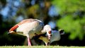 Closeup of an egyptian goose walking on the grass and eating in a south florida golf course Stock Photo