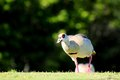 Closeup of an egyptian goose walking on the grass of a south florida golf course Stock Photo