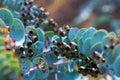 Closeup of eucalyptus krueseana plant Royalty Free Stock Image