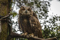 Closeup of european eagle owl detail bubo bubo Stock Photo