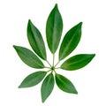 Closeup of exotic shefler leaf is isolated on white background Royalty Free Stock Image
