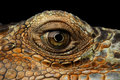 Closeup Eye of Green Iguana, Looks like a Dragon Royalty Free Stock Photo