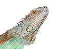 Closeup of Face of Iguana Royalty Free Stock Photo