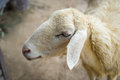 Closeup face sheep, Animal portrait Royalty Free Stock Photo