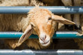 Closeup face of sheep in farm Royalty Free Stock Photo