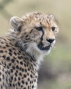 Closeup of the face of a young cheetah looking alertly ahead Royalty Free Stock Photo
