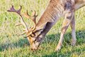 Closeup fallow deer meadow sunlight Stock Image